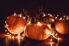 Ein Hund und Halloween-Kürbise Lizenzfreies Stockbild