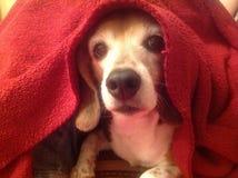 Ein Hund und ihre Decke Lizenzfreies Stockfoto