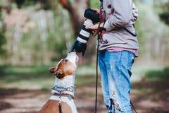 Ein Hunderasse American Staffordshire Terrier verständigt sich mit einem Fotografen und schnüffelt das Kameraobjektiv Lizenzfreie Stockfotos