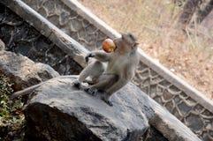 Ein hungriger Affe, der Lebensmittel isst Stockbilder