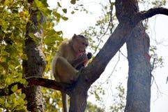 Ein hungriger Affe, der Lebensmittel isst Lizenzfreies Stockbild
