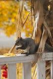 Ein hungriges Eichhörnchen, das den Mais von einem dekorativen Maisstiel isst Stockbild