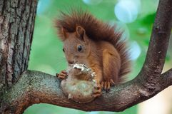 Ein hungriges squirell mit einem köstlichen Pilz lizenzfreie stockbilder