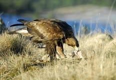 Ein iberischer Adler in den Bergen Lizenzfreies Stockbild