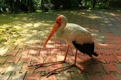Ein ibis ibis sitzt auf einem Boden im Schatten stockbild