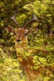 Ein Impala, der im Busch sich versteckt Lizenzfreie Stockfotografie