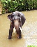Ein indischer Elefant Lizenzfreie Stockfotos