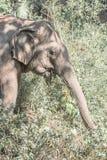Ein indischer Elefant Lizenzfreie Stockbilder