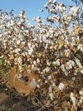 Ein industrielles Brown drehen herein ein blühendes Baumwollfeld lizenzfreie stockfotos
