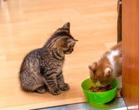 Ein Ingwer und ein weißes Kätzchen, die ein Weiche essen, konservierten Katzenfutter von einer grünen Schüssel in Büchsen Kätzche Lizenzfreies Stockfoto