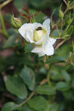 Ein Insekt hidding in einer Rose in einem Park (Frankreich) Stockfotos