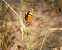 ein Insektenschmetterling sitzt auf einem Stiel eines Grashalms lizenzfreie stockfotos