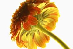 Ein inspirierend Makroblick unter eine mumsie Blume Stockfotografie