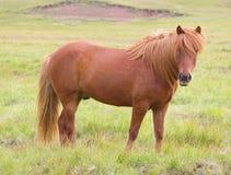 Ein isländisches Pferd auf einem Gras Stockfotografie