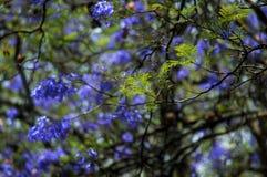 Ein Jacarandabaum bereit, seine Blätter zu verschütten Lizenzfreie Stockfotos