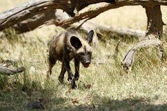 Ein Jagd-wilder Hund Lizenzfreie Stockfotos