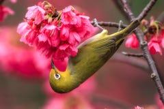 Ein japanischer Weißaugenvogel in den Kirschblüten lizenzfreie stockbilder