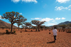 Ein jemenitischer Führer im Dragon Blood Trees-Wald in Homhil-Hochebene, Socotra, der Jemen Stockbild