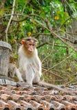 Ein jugendlicher Mützen-Makaken - indischer Affe - sitzend auf Clay Tiles mit Wald im Hintergrund Lizenzfreie Stockfotografie