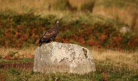 Ein Jugendlicher Weiß-band Eagle Haliaeetus-albicilla an, das auf einem Felsen gehockt wurde Lizenzfreie Stockfotografie