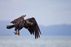 Ein jugendliches Fischen des kahlen Adlers Lizenzfreie Stockfotografie