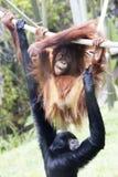 Ein Junge-Orang-Utan Spiele mit einem Siamang Stockbild