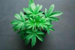 Ein junge schöne Hanfbetriebsmedizinisches Marihuana auf einem schwarzen hölzernen Hintergrund mit einem Platzabschluß oben Lizenzfreie Stockfotos