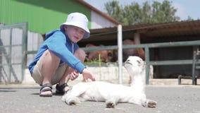 Ein Junge streichelt ein weißes kleines Lamm in einem Zoo stock video