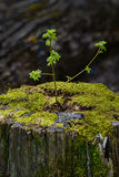 Ein Jungebaum keimt von einem alten, toten Stumpf Lizenzfreies Stockbild