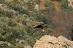 junger Adler, der auf den Felsen sich entfernt Lizenzfreie Stockbilder
