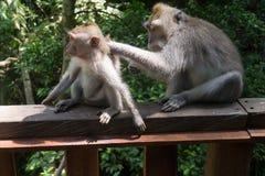 Ein junger Affe, der gepflegt wird Lizenzfreies Stockfoto