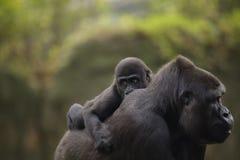 Ein junger Babygorilla auf der Rückseite der Mutter stockbild