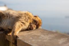 Ein junger Barbary-Makaken, der auf einer Wand liegt Lizenzfreie Stockfotos