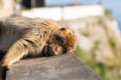 Ein junger Barbary-Makaken, der auf einer Wand liegt Stockbild