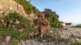 Ein junger Barbary-Makaken, der eine Blume isst Stockfotos