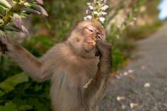 Ein junger Barbary-Makaken, der eine Blume isst Stockbilder