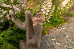 Ein junger Barbary-Makaken, der eine Blume isst Lizenzfreie Stockfotos