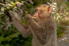 Ein junger Barbary-Makaken, der eine Blume isst Stockfotografie
