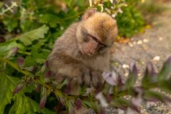 Ein junger Barbary-Makaken, der eine Blume isst Stockbild