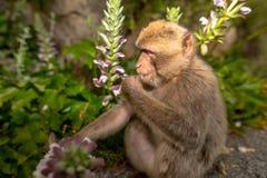 Ein junger Barbary-Makaken, der eine Blume isst Lizenzfreie Stockfotografie
