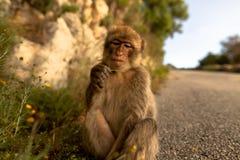 Ein junger Barbary-Makaken, der eine Blume isst Lizenzfreie Stockbilder
