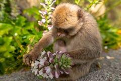 Ein junger Barbary-Makaken, der eine Blume isst Stockfoto