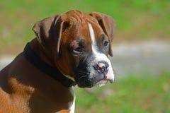 Ein junger Boxer-Welpe wünscht Aufmerksamkeit stockbilder