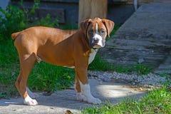 Ein junger Boxer-Welpe wünscht Aufmerksamkeit stockfoto