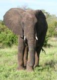 Ein junger Elefant Lizenzfreie Stockfotos