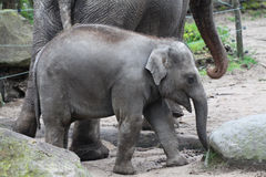 Junger Elefant Lizenzfreies Stockbild