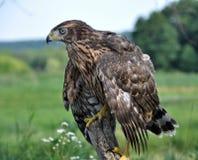 Ein junger Falke, der auf einem Baumstamm sitzt Stockfotos