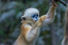 Ein junger goldener stupsnasiger Affe, der in die Luft springt stockfoto