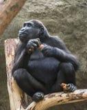 Ein junger Gorilla hält Karotten in ihren Armen und in Beinen stockfotos