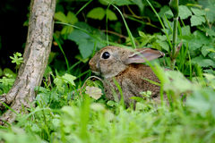 Ein junger Hase im Holz Lizenzfreies Stockbild